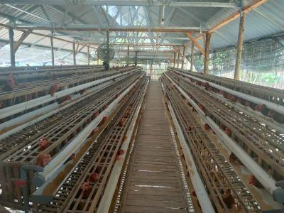 Bojonegoro Kembangkan Kawasan Peternakan Ayam Ras Petelur, Tahun Ini di Baureno
