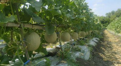 Inovatif, Desa Jamberejo Budi Daya Melon di Wilayah Curah Hujan Rendah